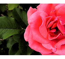 Coral Rose & Leaf Photographic Print