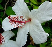 HIBISCUS IN VOLUMES by Ekascam
