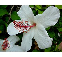 HIBISCUS IN VOLUMES Photographic Print