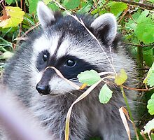A Friendly Raccoon by Colin & Cathie Townsend