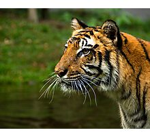 Sumatran Tiger Photographic Print