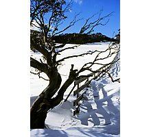 Snow Gum Photographic Print