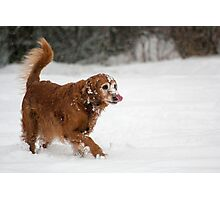 Golden Retriever in the snow Photographic Print
