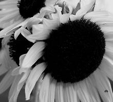 sunflower in black & white_2 by daniels