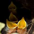 Robin chicks by tamilian