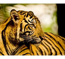Resting Tiger Photographic Print