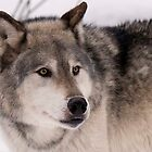 Gray wolf — our dog's great, great ancestor by Jan Timmons