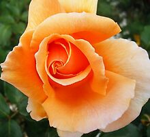 new rose by eramophla