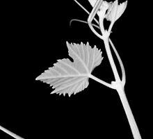 Grapevine by Kitsmumma