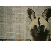Arican Wild Dog - Engangered Species Photographic Print