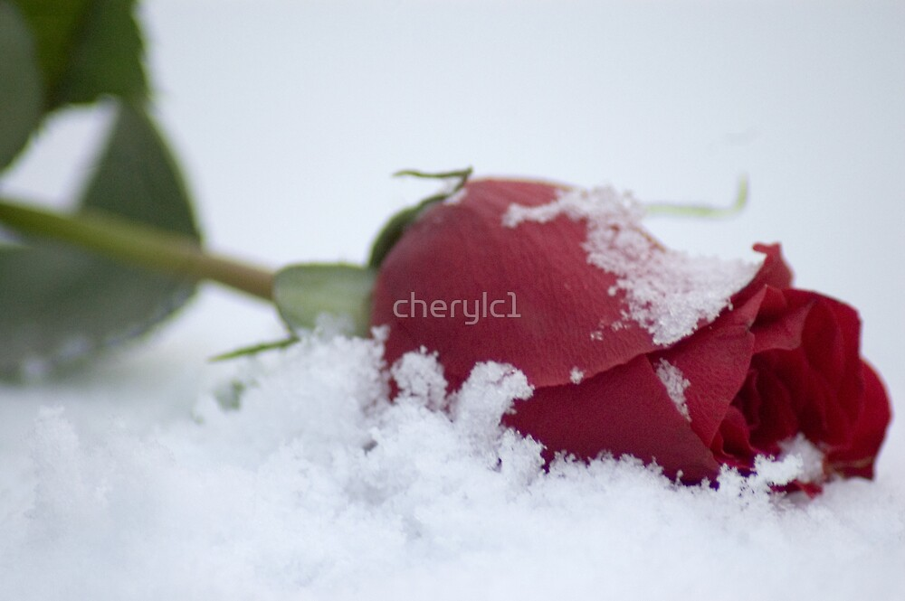 The Red Rose by cherylc1