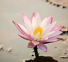 Lotus flower  by Brent Olson