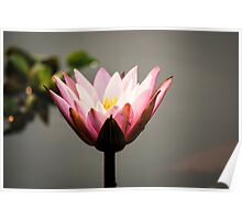 Lotus flower (water lily) Poster