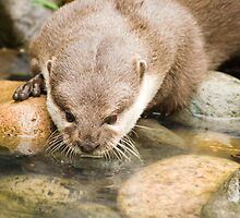 otter by Ken McKillop