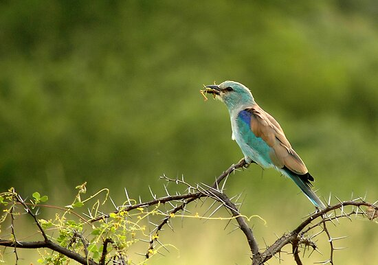 European Roller by Sharon Bishop