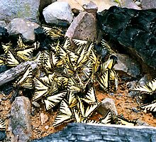 Gathering of Tiger Swallowtails by James Lady