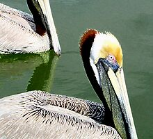 American Brown Pelicans by James Lady