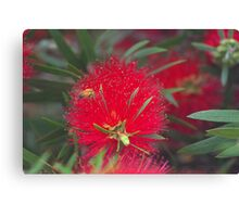 Red callistemon flower Canvas Print