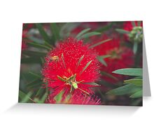 Red callistemon flower Greeting Card