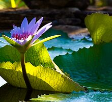 Sun Kissed Water Lily by photogurl