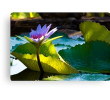 Sun Kissed Water Lily Canvas Print
