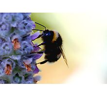 Lavender Bee Photographic Print