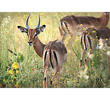 Impala grazing in the early evening. Photographic Print