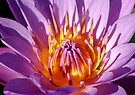 Lotus Fire by Dave Lloyd