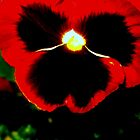 red pansy by Sam Ackling