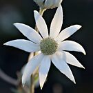 Sydney Flannel Flower by Gayle Shaw