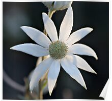 Sydney Flannel Flower Poster