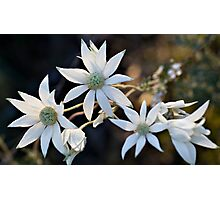 Wildflowers of the Blue Mountains - Sydney Flannel Flower Photographic Print