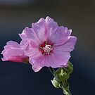 Lavatera by EileenLangsley