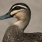 It was a good swim - Pacific Black Duck by Joy Watson