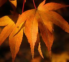 Maple Leaves by Victoria Ashman