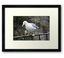 California Gull Framed Print