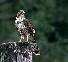 Cooper's Hawk by Jonicool