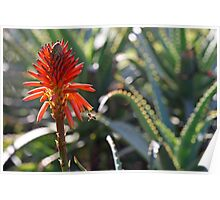 Aloe and Bee Poster