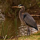 Posing Heron by Marvin Collins