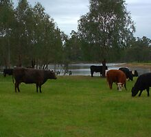 Cattle grazing by ndarby1