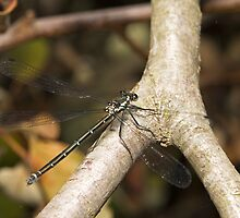 Dragonfly by Colin  Ewington