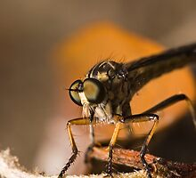Robber Fly by Colin  Ewington