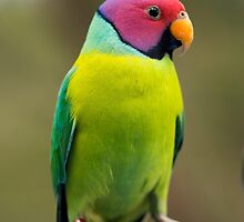 SLY the Plum Faced Parrot by STEPHEN GEORGIOU