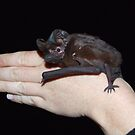 White-striped Freetail Bat by Hannah Nicholas