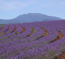 Lavender by Amy Trebilco