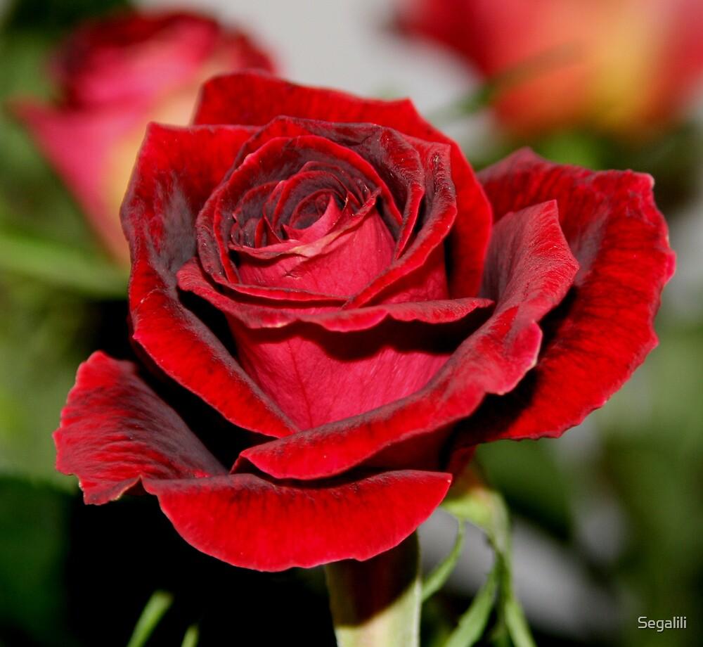Red Rose (1) by Segalili