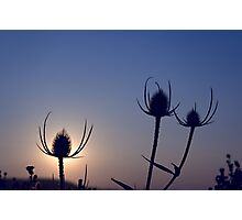 Silhouetted thistles Photographic Print