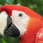 Scarlet Macaw by camerahappy