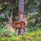 Highland Stag by Chris Thaxter