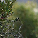Green Hummingbird by cfam